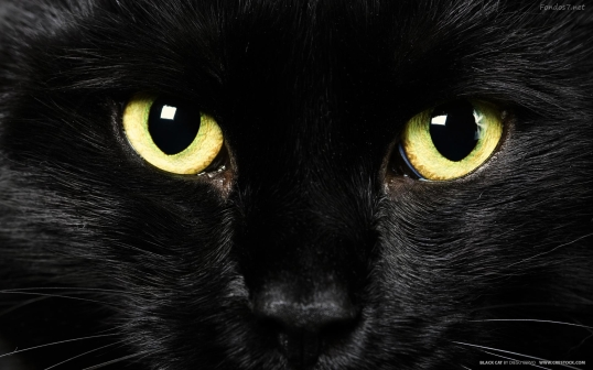 wallpaper gato negro